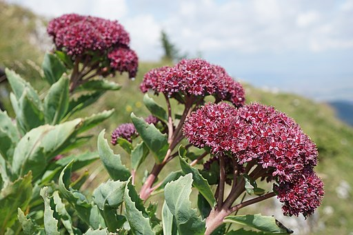 "Quelle [xulescu_g (https://commons.wikimedia.org/wiki/File:Hylotelephium_(Sedum)_telephium_ssp._fabaria_(48522642772).jpg), ""Hylotelephium (Sedum) telephium ssp. fabaria (48522642772)"", https://creativecommons.org/licenses/by-sa/2.0/legalcode]"