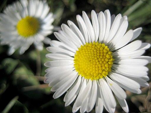 Darstellung der Blüte des Gänseblümchens