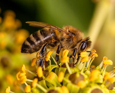 Darstellung einer Honigbiene
