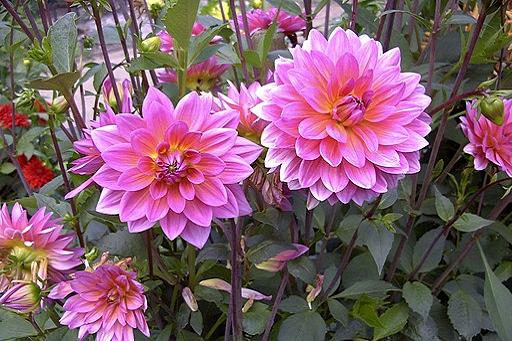Darstellung gefüllte Blüte