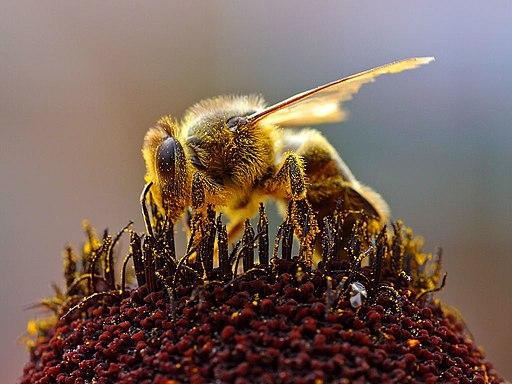 Darstellung einer Biene beim Pollensammeln