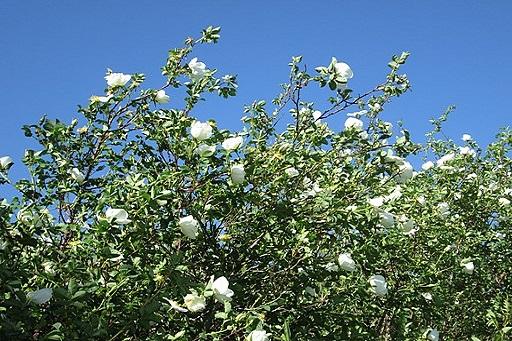 Blüte der Bibernell Rose