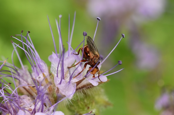 Fliege auf Phacelia