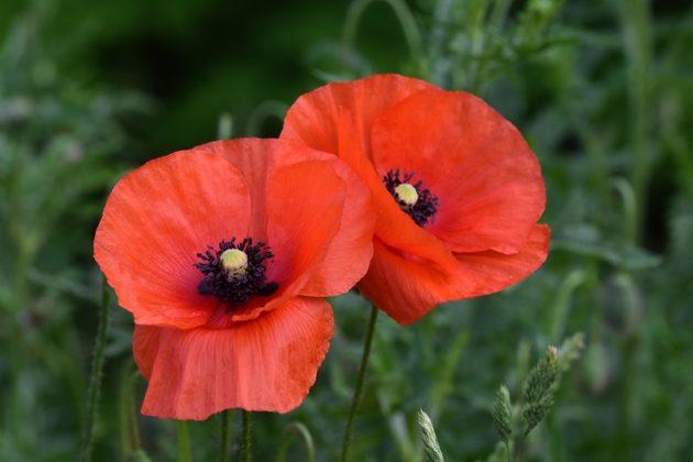 Klatschmohn - Darstellung der Blüte