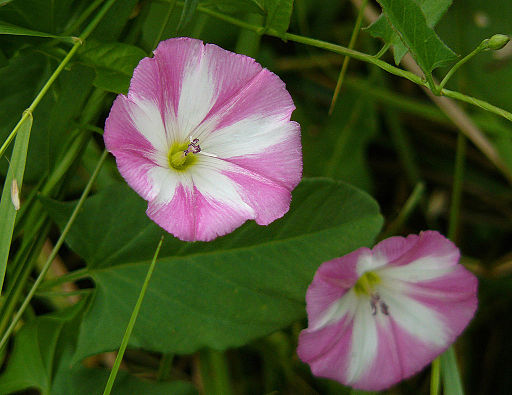 Acker-Winde - Darstellung der Blüte
