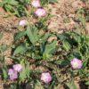 Acker-Winde - Darstellung der Pflanze