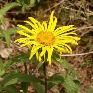 Rauer Alant - Darstellung der Blüte