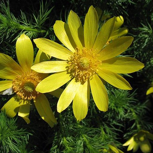 Frühlings Adonisröschen - Darstellung der Blüte