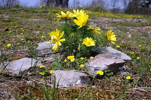 Frühlings Adonisröschen - Darstellung der Pflanze