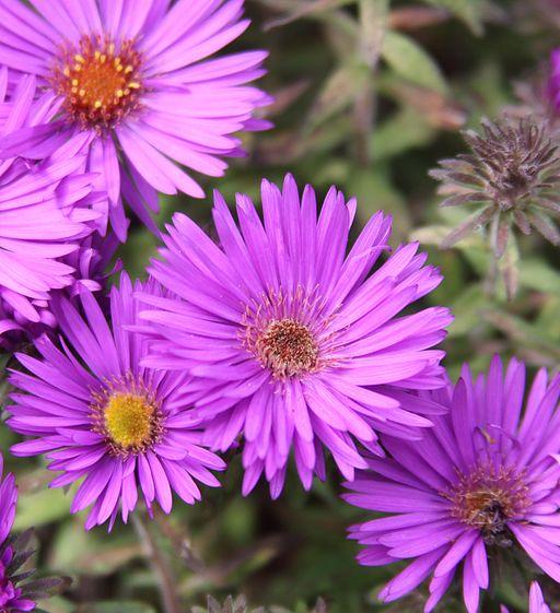 Raublatt Aster - Darstellung der Blüte