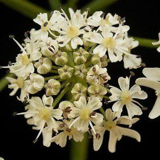 Wiesen Bärenklau - Darstellung der Blüte