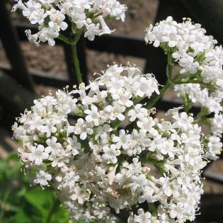 Baldrian, Echter - Darstellung der Blüte