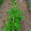 Baldrian, Echter - Darstellung der Pflanze