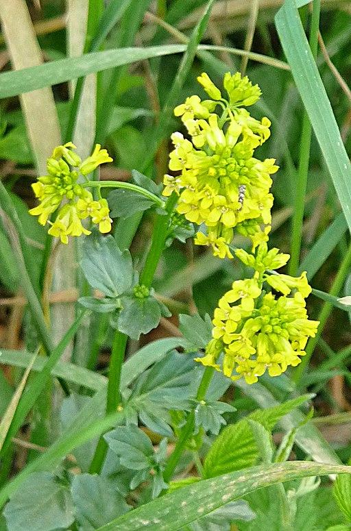 Echtes Barbarakraut (Barbarea vulgaris) - Darstellung der Blüte