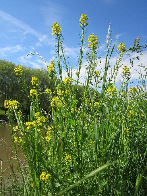 Echtes Barbarakraut (Barbarea vulgaris) - Darstellung der Pflanze