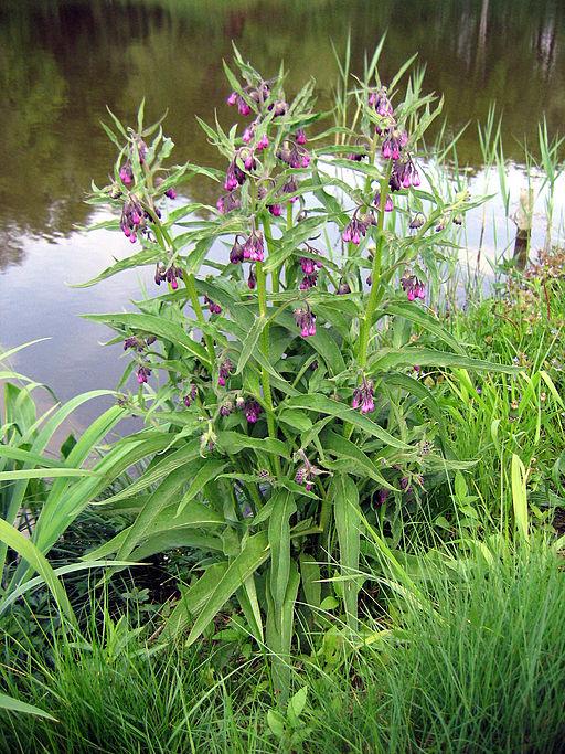 Echter Beinwell - Darstellung der Pflanze