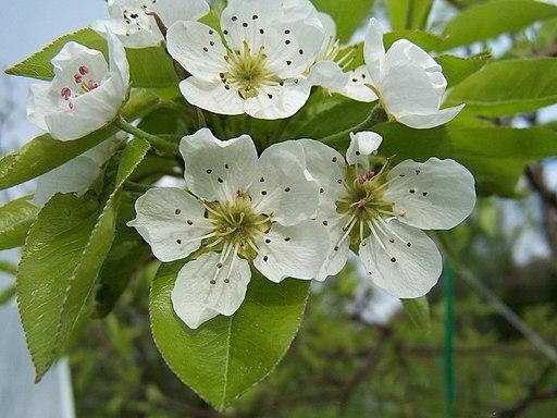 Birnbaum - Darstellung der Blüte