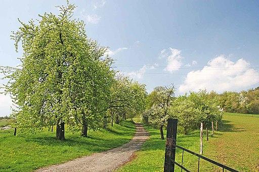 Birnbaum - Darstellung des Baumes