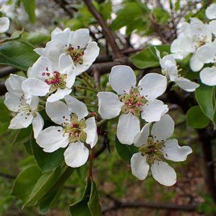 Wildbirne - Darstellung der Blüte