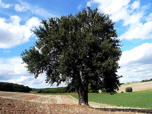 Wildbirne - Darstellung des Baumes