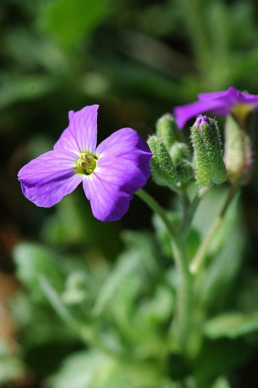Blaukissen - Darstellung der Blüte