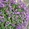 Blaukissen - Darstellung der PflanzePflanze