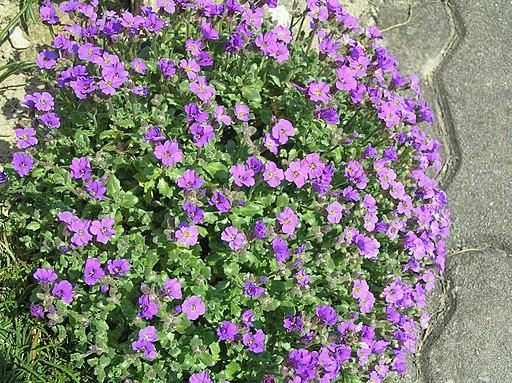 Blaukissen - Pflanze