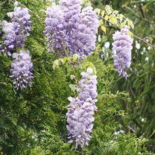 Blauregen - Darstellung der Blüte