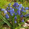 Sibirischer Blaustern - Darstellung der Pflanze