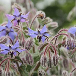 Borretsch - Darstellung der Blüte
