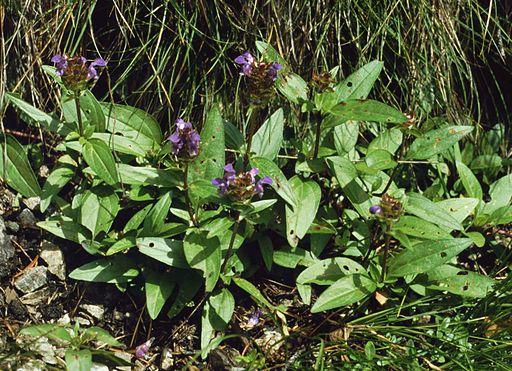 Große Braunelle - Darstellung der Pflanze