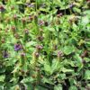 Gewöhnliche Braunelle - Darstellung der Pflanze
