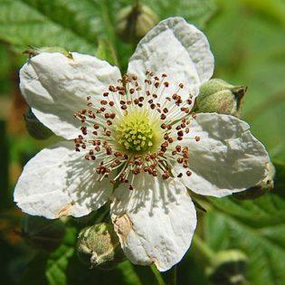 Brombeere - Darstellung der Blüte