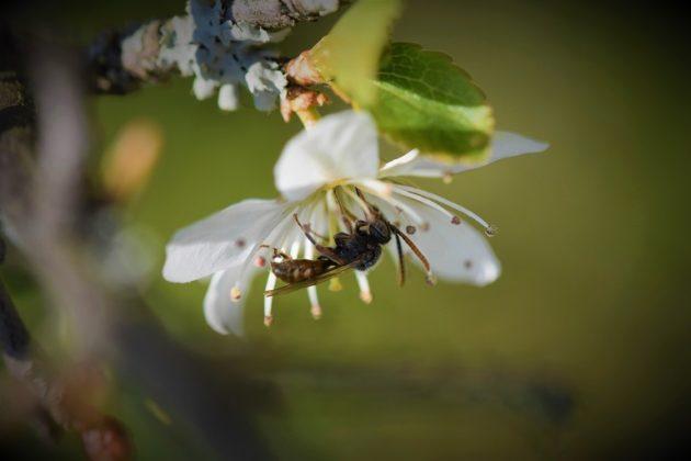 Wildbiene auf Blüte der Schlehe