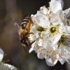 Wildbiene auf der Blüte der Schlehe