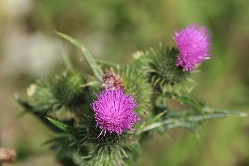 Gewöhnliche Kratzdistel (Cirsium vulgare) - Darstellung der Blüte