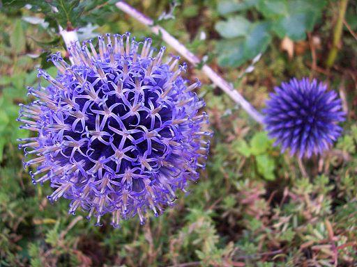 Kugeldistel - Darstellung der Blüte