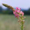 Saat Esparsette - Darstellung der Blüte