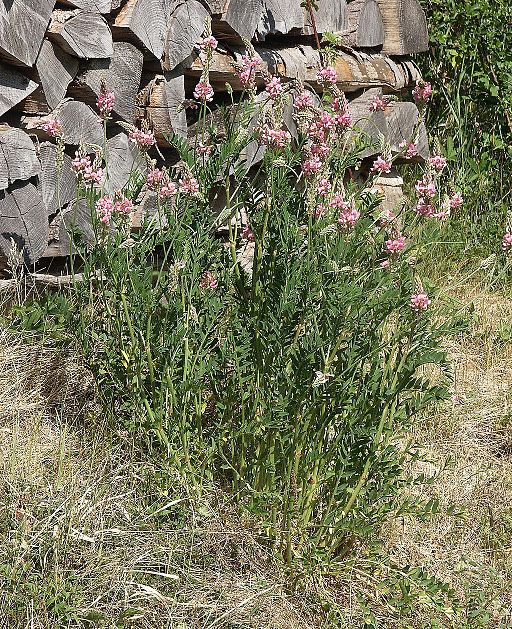 Saat Esparsette - Darstellung der Pflanze