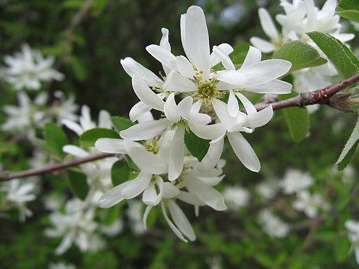Felsenbirne, Gewöhnliche - Darstellung der Blüte