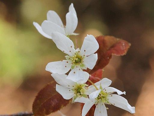Kahle Felsenbirne - Darstellung der Blüte