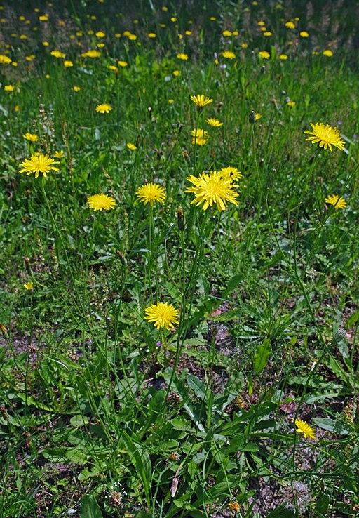 Gewöhnliches Ferkelkraut - Pflanze