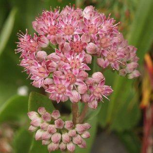 Waldfetthenne, Purpur - Darstellung der Blüte