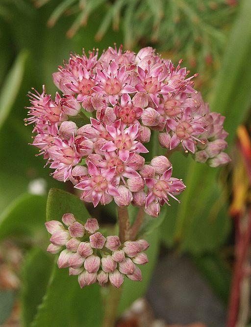 Purpur-Waldfetthenne - Darstellung der Blüte