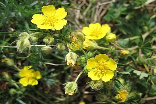 Fingerkraut, Frühlings - Blüte