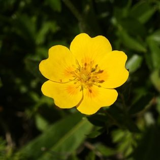 Gold-Fingerkraut - Darstellung der Blüte