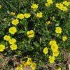 Gold-Fingerkraut - Darstellung der Pflanze
