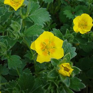 Großblütiges Fingerkraut - Darstellung der Blüte
