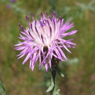 Gefleckte Flockenblume - Darstellung der Blüte
