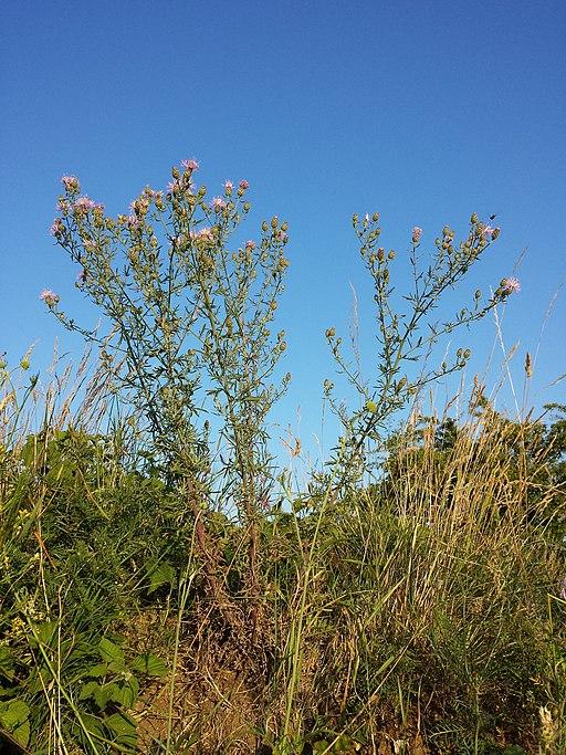 Gefleckte Flockenblume - Darstellung der Pflanze